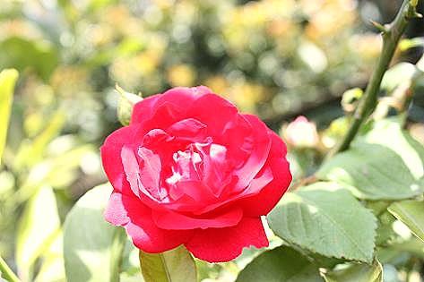 赤いバラが・・・