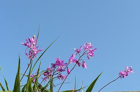 シランの花畑♪