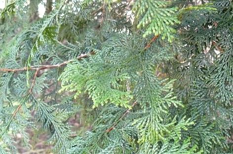 これが檜の葉っぱです♪