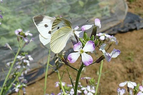 仲良しモンシロ蝶♪