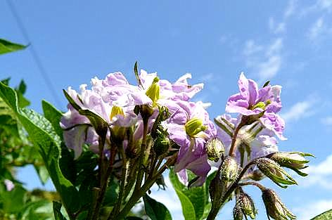 アンデスレッドの花♪
