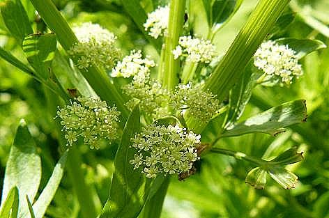 セロリの花♪