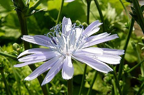 チコリの花♪