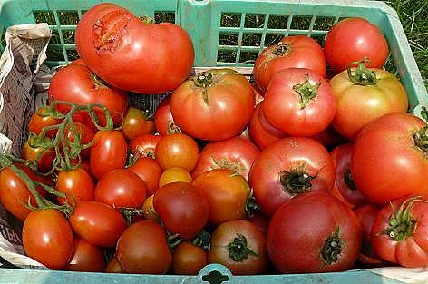 ボロトマトいっぱい♪