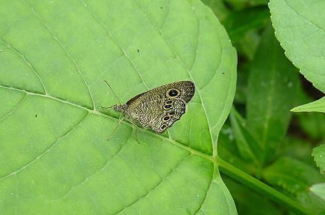 ジャノメ蝶?