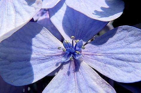 アジサイの花♪