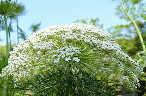 人参の真っ白な花♪