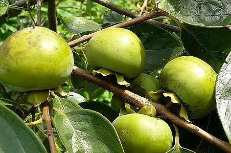 実は柿の木♪