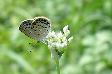 シジミ蝶♪