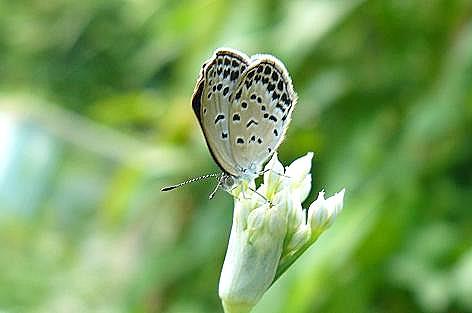 ブーケに止まるシジミ蝶♪