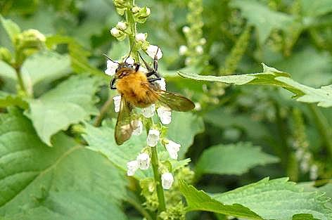 青シソの花はハチに人気♪