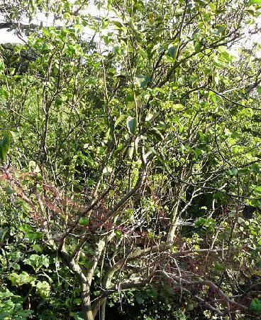 下段の梨の木♪