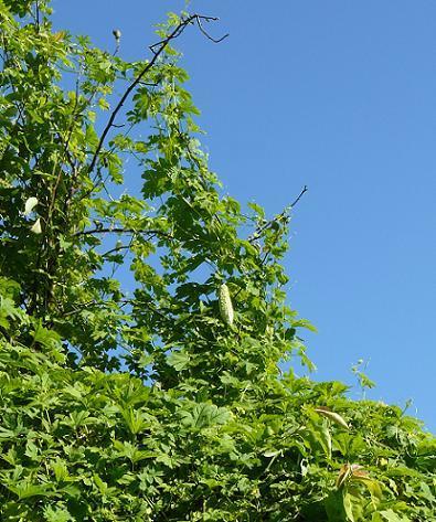 上段の梨の木♪