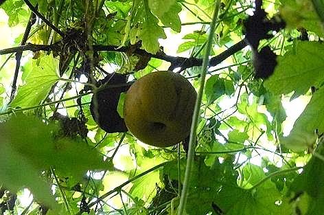 梨を発見♪