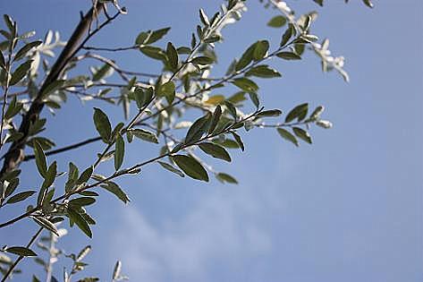 青空にオリーブの葉♪