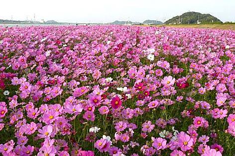 遠賀川のコスモス♪