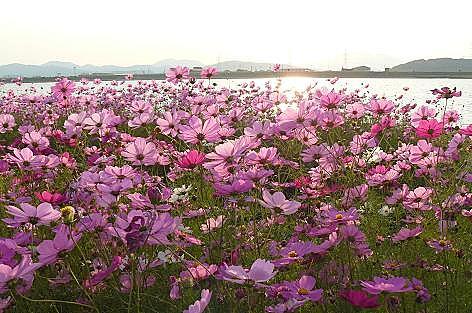 夕暮の遠賀川♪