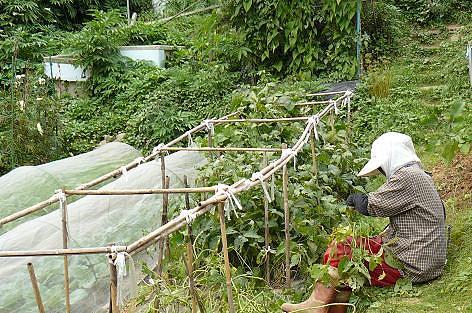 豆採りババア