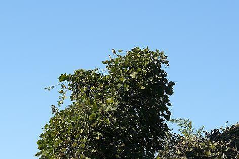 カラスの木に♪