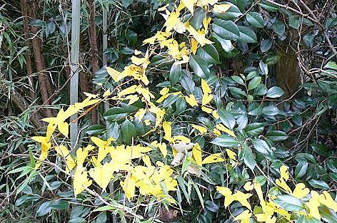 自然薯の葉が色づいて♪