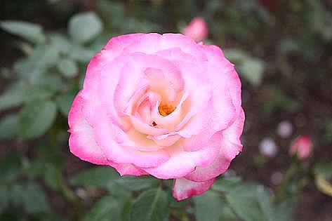 ピンク色のバラ♪