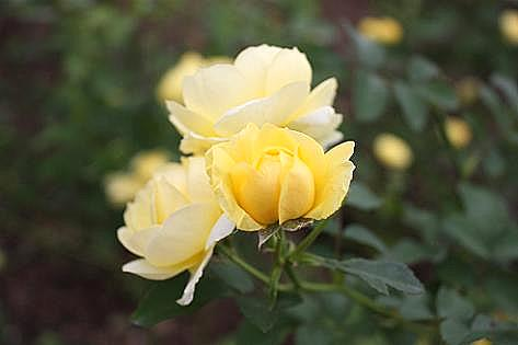 黄色いバラ♪