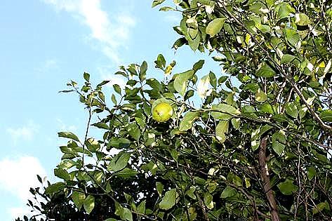 庭のレモン♪