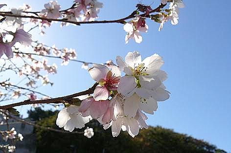 10月桜が・・・
