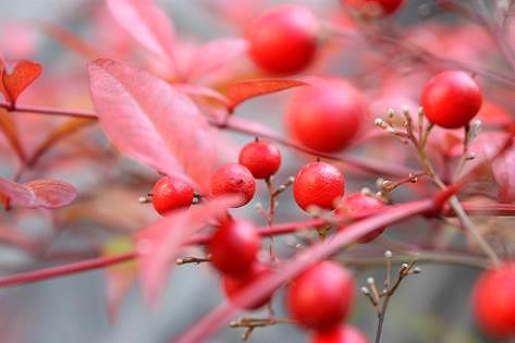南天の紅葉が綺麗♪