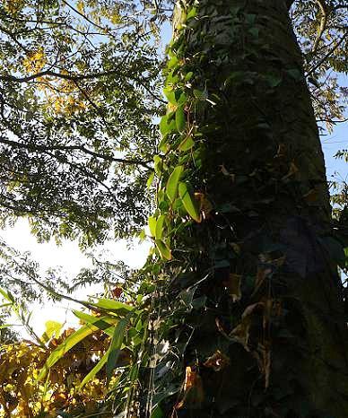 蔓が絡まる藪で♪