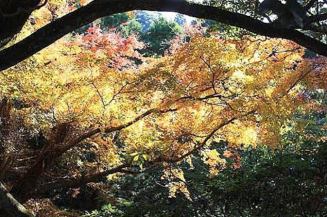 楓の黄葉♪