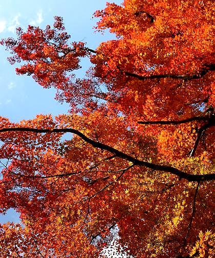 楓の大木♪
