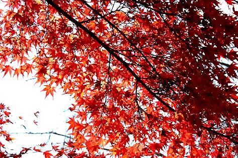 赤いカエデの葉っぱ♪