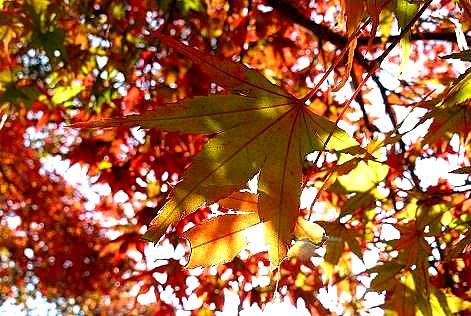 三色のカエデの葉っぱ♪