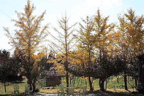 銀杏と果樹園♪