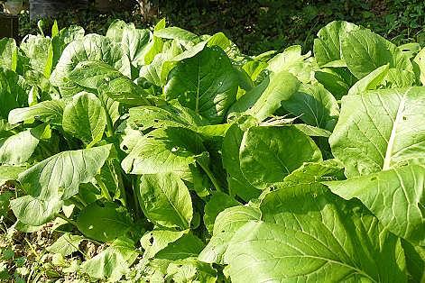 アブラナ科の野菜♪小松菜