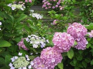紫陽花 127