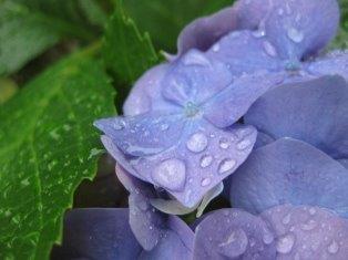紫陽花 088
