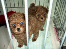 3匹のワンちゃん(トイ・プードル♀)とよりちゃんのブログ