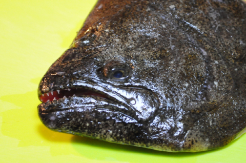 ヒラメの顔