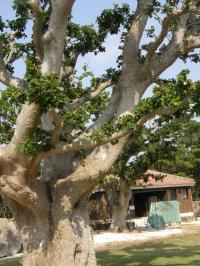 テイダの木