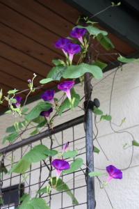 濃い紫の朝顔