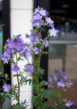 清楚な薄紫