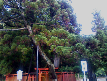 御神木の綾杉