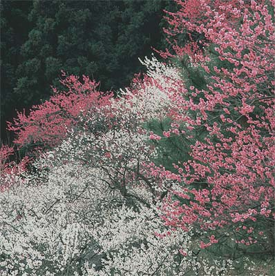 yosino_ume.jpg