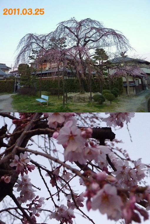 2011交野桜325b