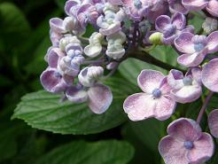 紫陽花SAYAKA