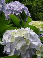 紫陽花薄いブルー