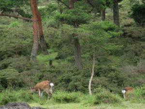 霧島野生の鹿