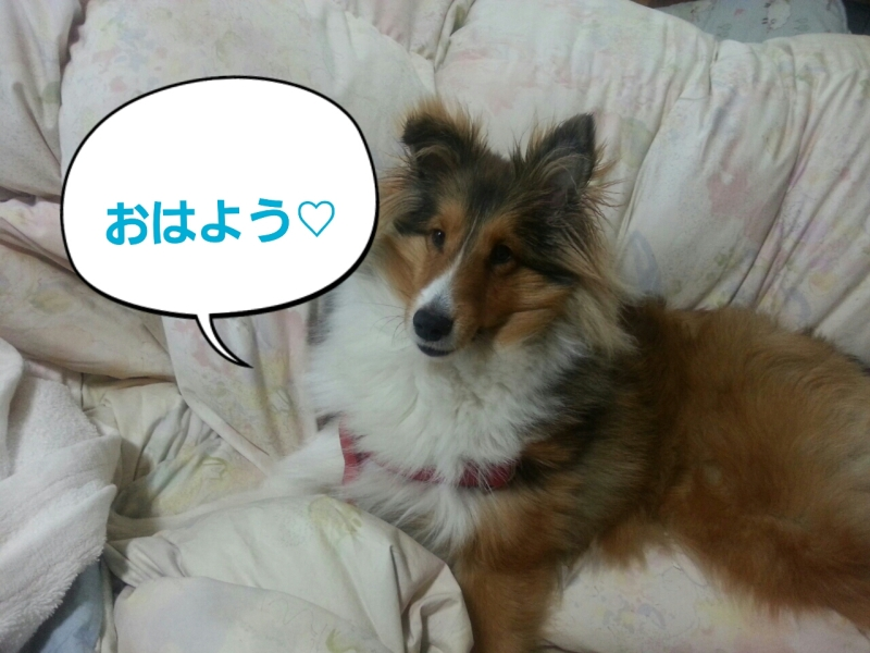 シェルティ 葉月のすくすく日記♪-2013-01-10-07-56-27_deco.jpg